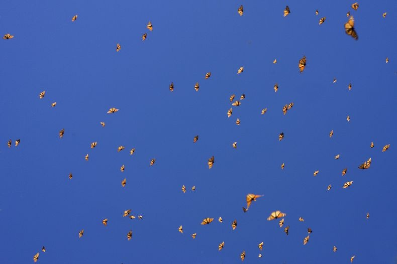monarch-migration-16