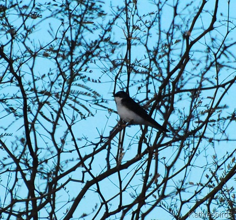 8. tree swallow-kab