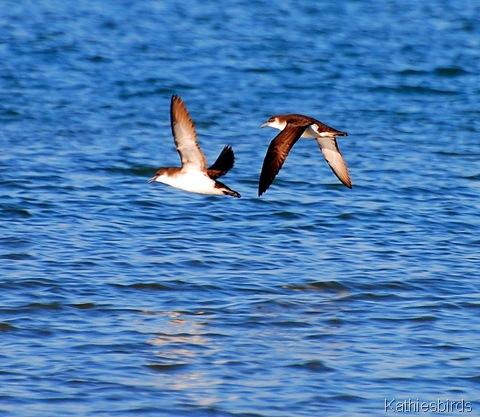 2. Manx shearwater revere beach-kab