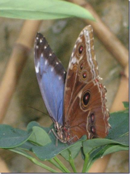Farfalle 054
