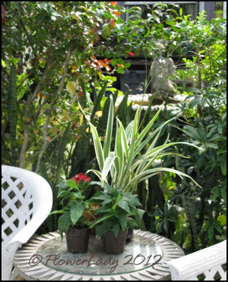 01-24-pentas-flax-lily