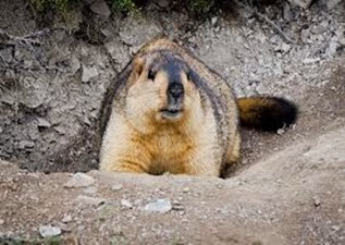 Amazing Pictures of Animals, Photo, Nature, Incredibel, Funny, Zoo, Himalayan marmot, Sciuridae, Mammalia, Alex (4)