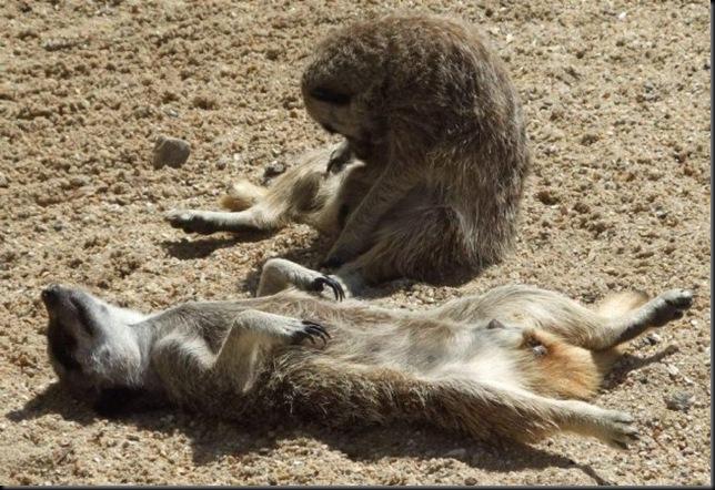 Meerkat laying on back