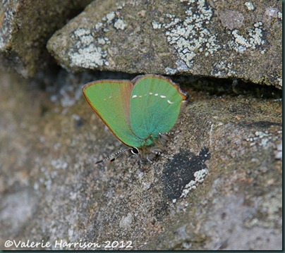 1-Green-Hairstreak