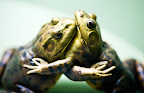 The Dance of the Bullfrogs.jpg