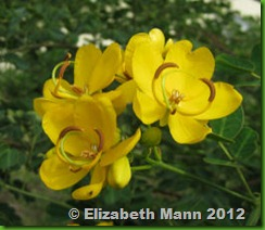 Cassia flowers for book