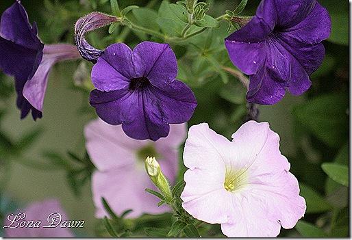 Petunia_Purples