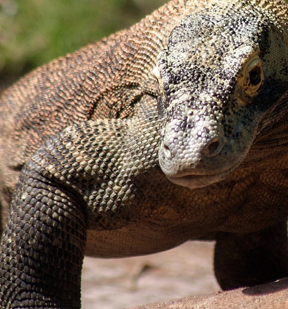 Komodo-dragon-closeup