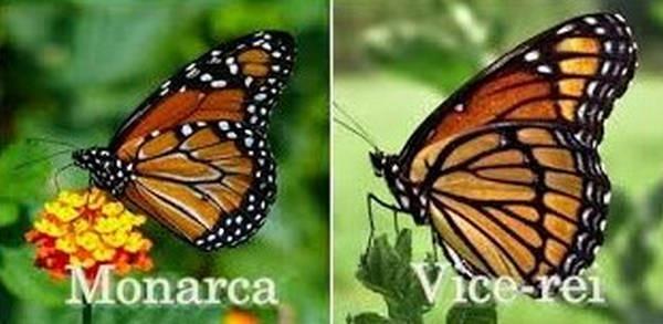 5- Borboleta monarca e vice rei