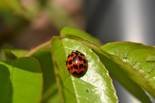 Multi-spot ladybird