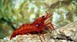 Biodiversité crevette rouge