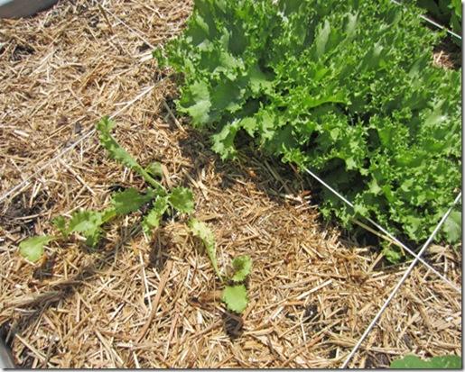 Endive seedling started in coir