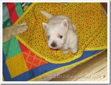 Westie puppy update