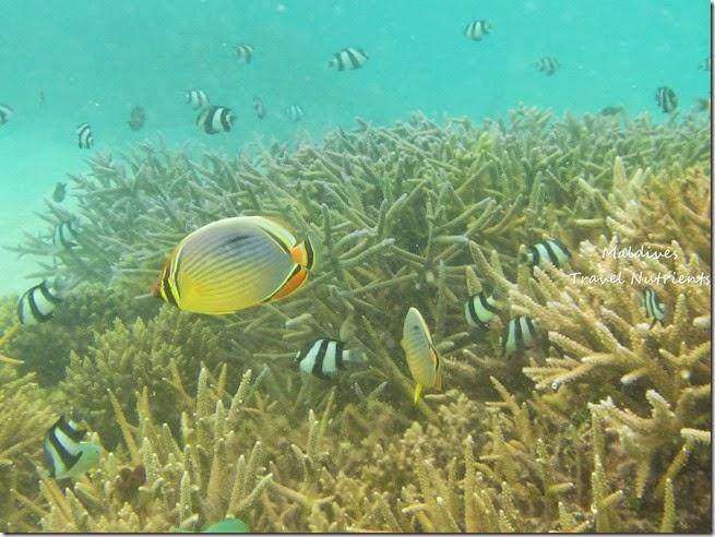 馬爾地夫 野餐島 浮潛 (24)