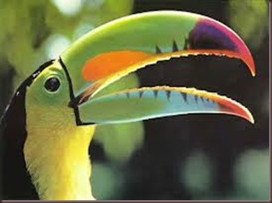Amazing Pictures of Animals photo Nature exotic funny incredibel Zoo, Ramphastidae, Toucan, Bird, Alex (17)