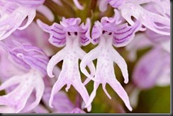 weird-orchis-italica-aka-naked-man-orchid_xcx_frmimg_1342944648-3979
