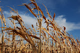 "Fall Corn"" - copyright David J. Thompson"