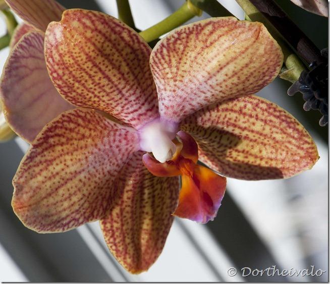 orkideovenfra