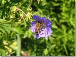 včely na květu a matečniky 021