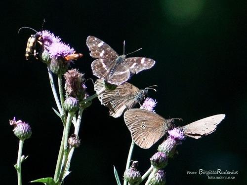 butterflies_20110716_bugs1a