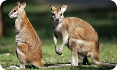 A-wallaby-and-joey-001