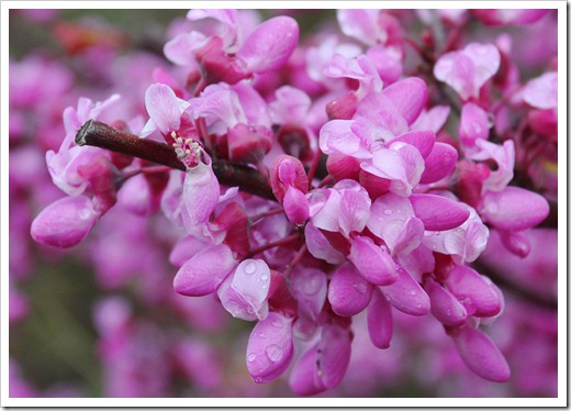 120313_Cercis-occidentalis_22