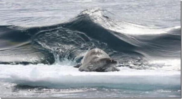Nenhuma chance para a foca (3)