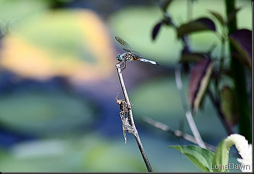 WNP_Dragonflies (2)