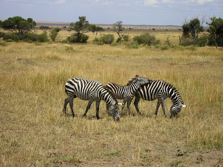 Safari: Glutton zebras