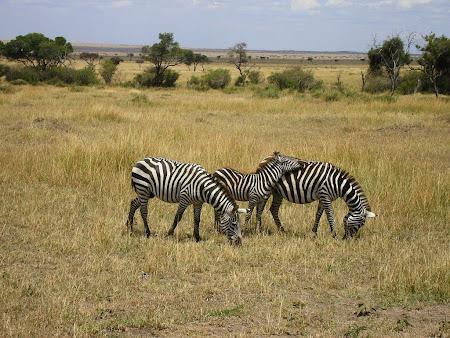 Safari: Glutton zebras