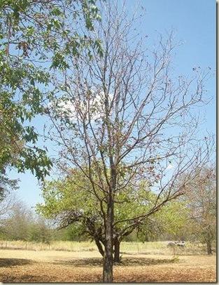 Pecan Sm tree back 2011