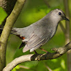 catbird with rusty underparts showing.jpg