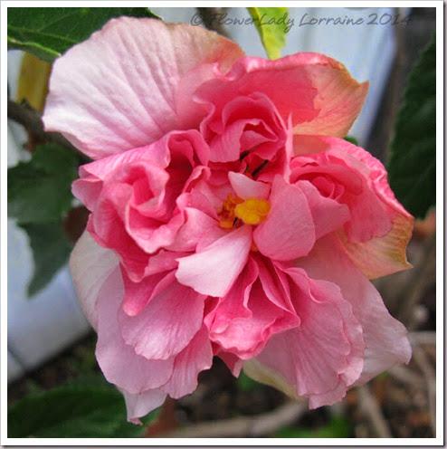06-30-pink-hib