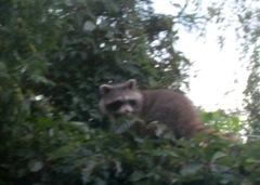 1307150 July 29 Raccoon On Fence From Diningroom Window