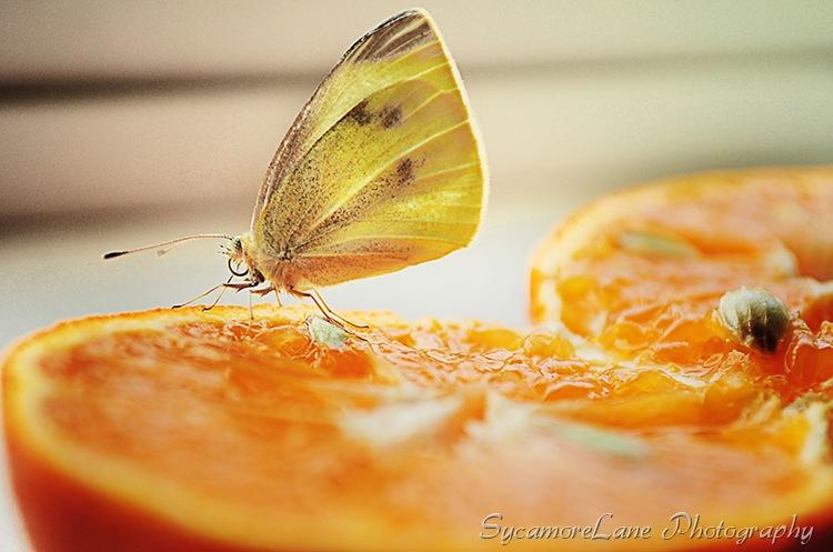 sulfur butterfly-w