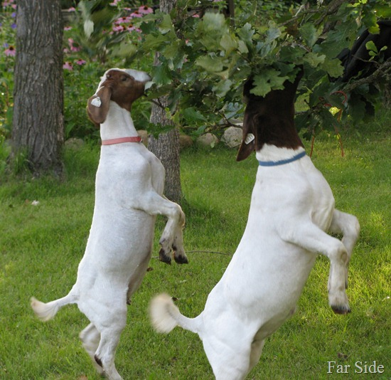Goat Olympics