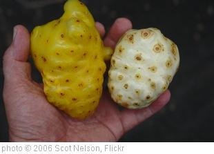 'Yellow Noni 2' photo (c) 2006, Scot Nelson - license: http://creativecommons.org/licenses/by-sa/2.0/