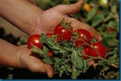 simple harvesting tomatoes
