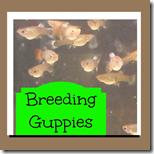 1st Grade Breeding Guppies Science
