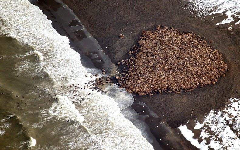 walrus-ashore-alaska-6
