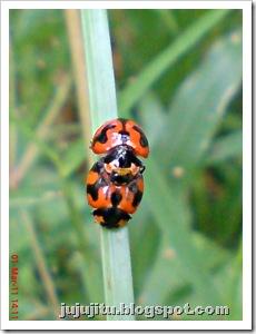 ladybird mating 10