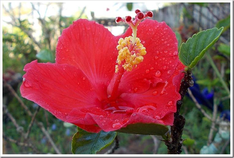 04-20-hibiscus
