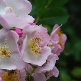 Qingdao - Badaguan - Roses parfumées