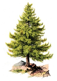 tree pine-graphicsfairy008b