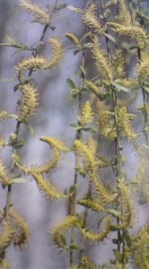 Franny, the weeping willow is in the Salix family and they form flowers, called catkins, which are produced in the early spring.  Do you know what else produces catkins?  Start driving!  Photo credit: http://blog.alientimes.org