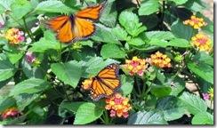 Butterflies love lantana
