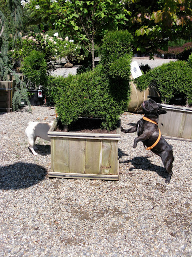 Wow - a dog topiary.  This is so cool.  Maybe we should start trimming some of Martha's boxwood to look like Frenchies.