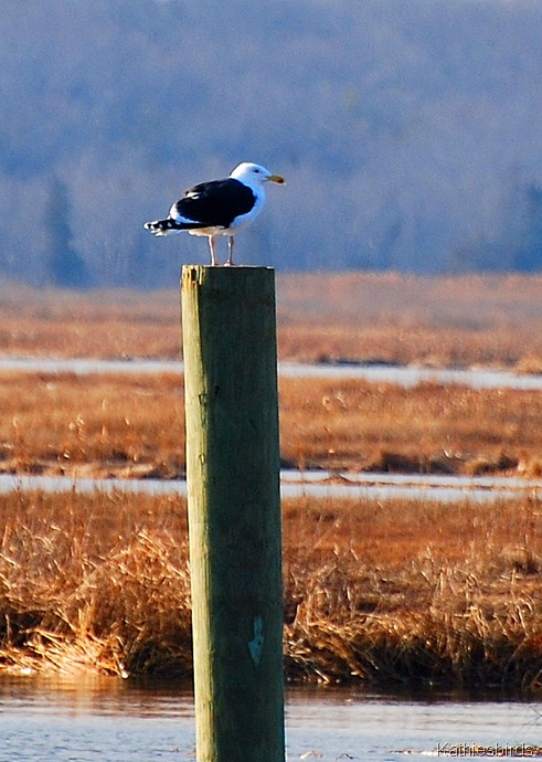 15. great black backed gull-kab