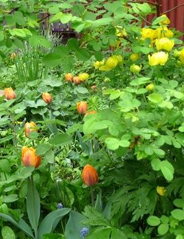 Tulipa 'Princess Irene' 2 Daniel Grankvist