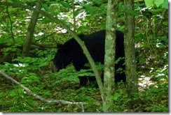 Black Bear along Skyline Drive